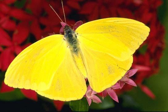 Clouded Sulphur - Alabama Butterfly Atlas |Clouded Sulphur Butterfly