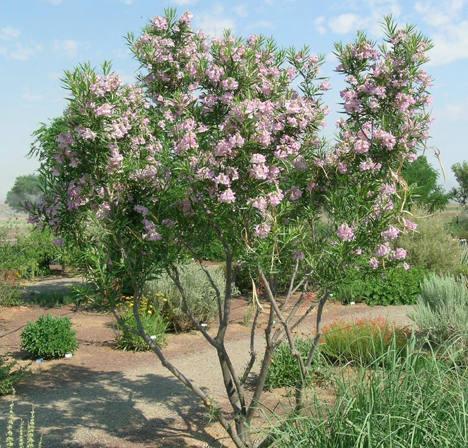 Garden for wildlife local plants desert willow mimbre chilopsis linearis bignoniaceae mightylinksfo