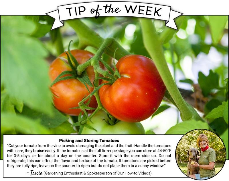 Légumes Graines Tomate Olympus Rose organically Grown Heirloom non OGM Seeds & Bulbs