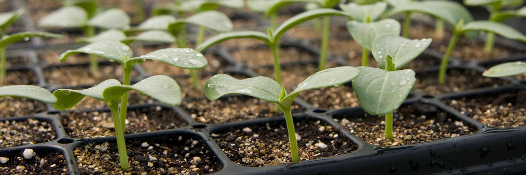 Herb Seeds Plants, Seeds & Bulbs Enthusiastic Ashitaba 50 Seeds Angelica Keiskei Herb Top Watermelons